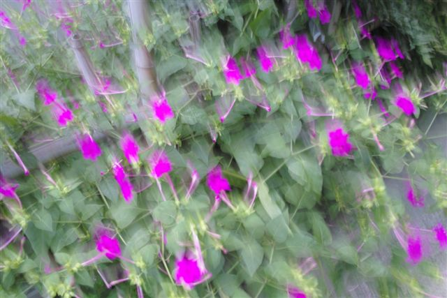 夕暮れに家の近くを散策した。疲れた目にやさしく映ったおしろい花。